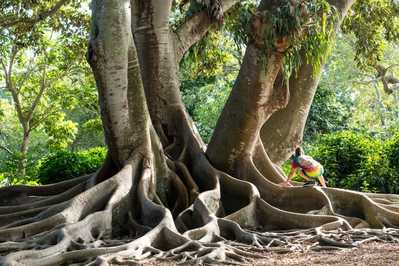 girl climbing enormous banyan tree at selby gardens