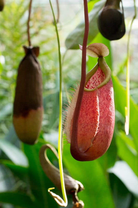 pitcher plant at selby gardens