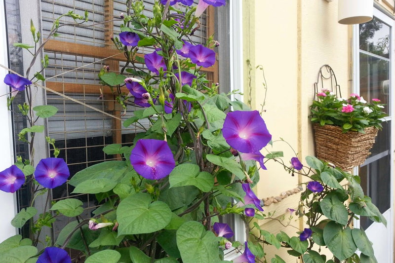 no green thumb required: morning glories