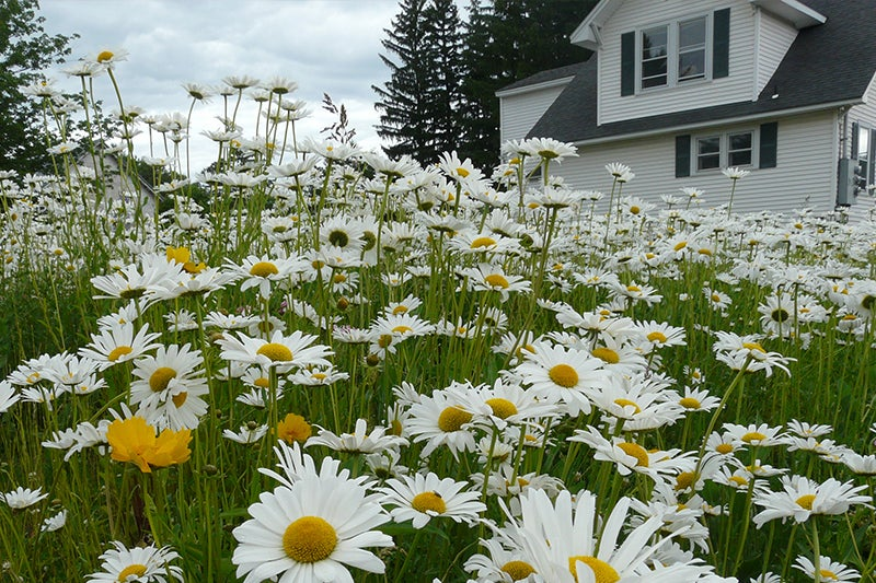 no green thumb required: shasta daisies