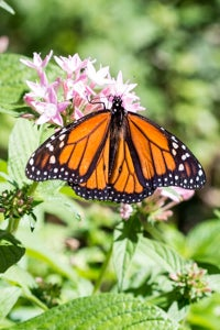 monarch butterfly visiting the garden