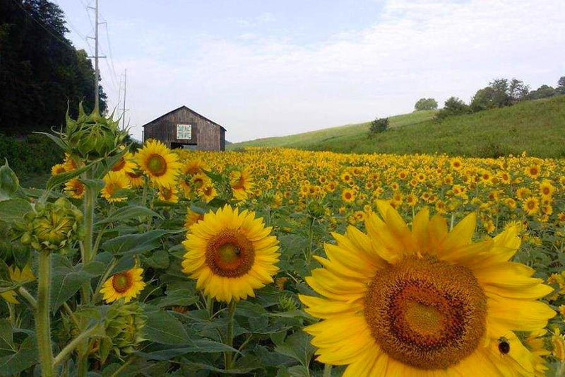 no green thumb required: sunflowers