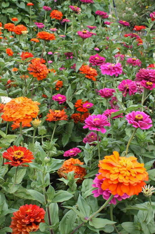 no green thumb required: zinnia