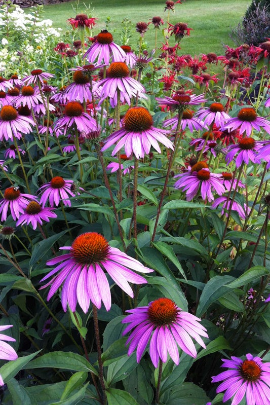 fragrant flower garden: phlox and echinacea