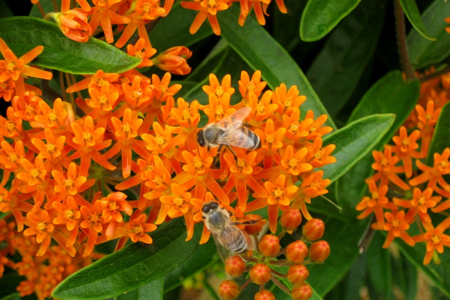 Asclepias_tuberosa_Butterfly_Weed__1_
