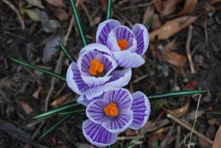 d0398a73e012d0 A Crocus-Filled Spring