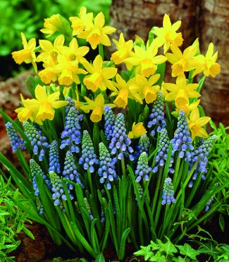 Early Spring Delight Mix (Hyacinths and Daffodils)