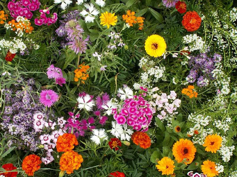 Fragrant Wildflower Seed Mix
