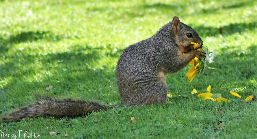 squirrel-garden-pests