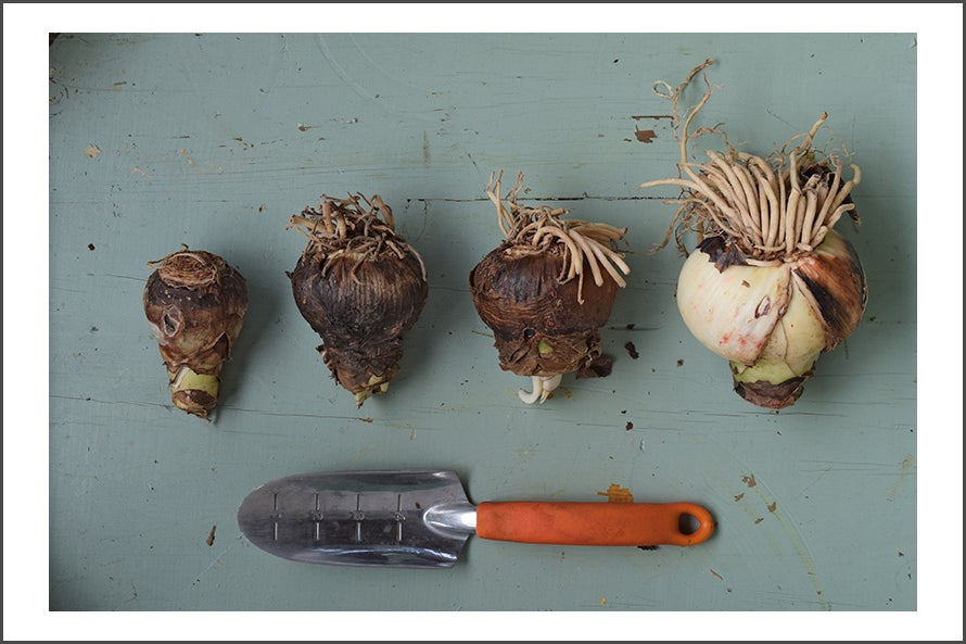 Amaryllis Size Comparison, All Stores