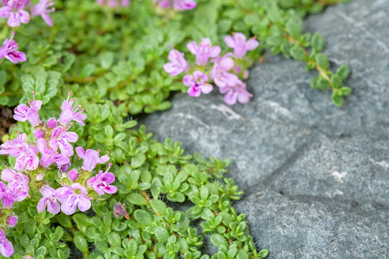 perennial groundcovers - creeping phlox