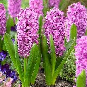 Miss Saigon Hyacinth Bulbs