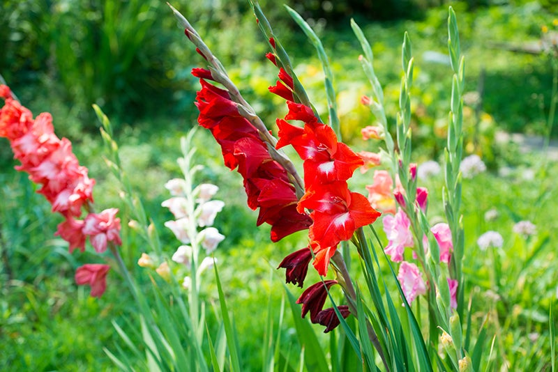 fill in your garden bed: gladiolus