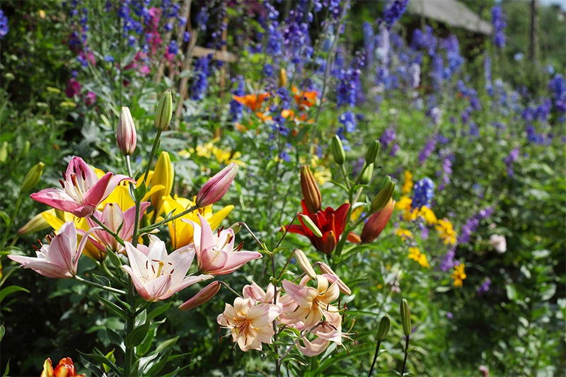 fill in your garden bed: lilies