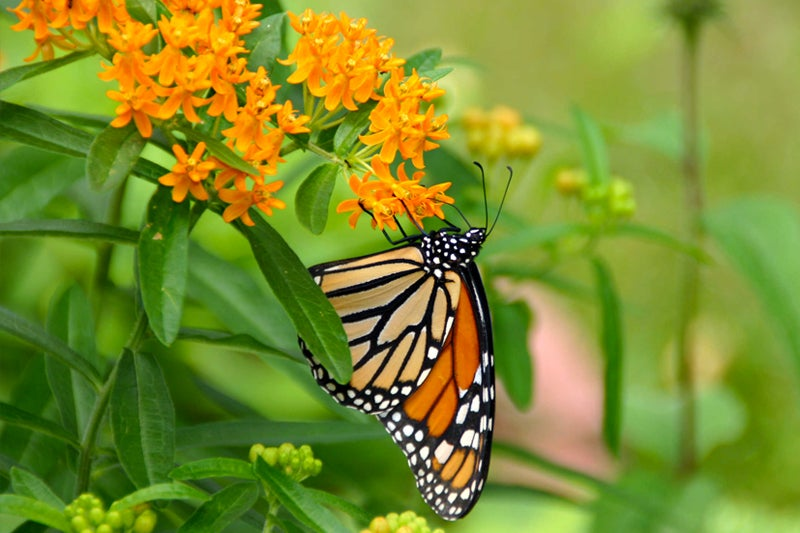 How To Plant Milkweed: butterfly weed
