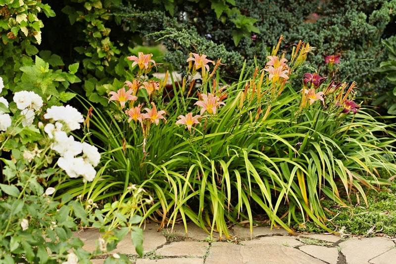 choose easy to grow plants: daylilies