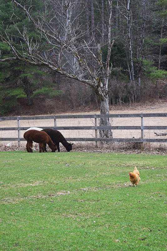 homesteading - grazing