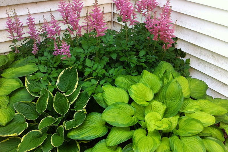 choose easy to grow plants: astilbe and hosta