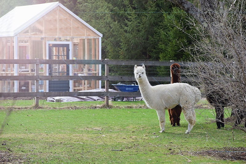 homesteading - alpacas