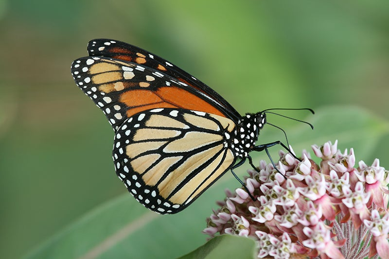 How To Plant Milkweed: monarch butterfly