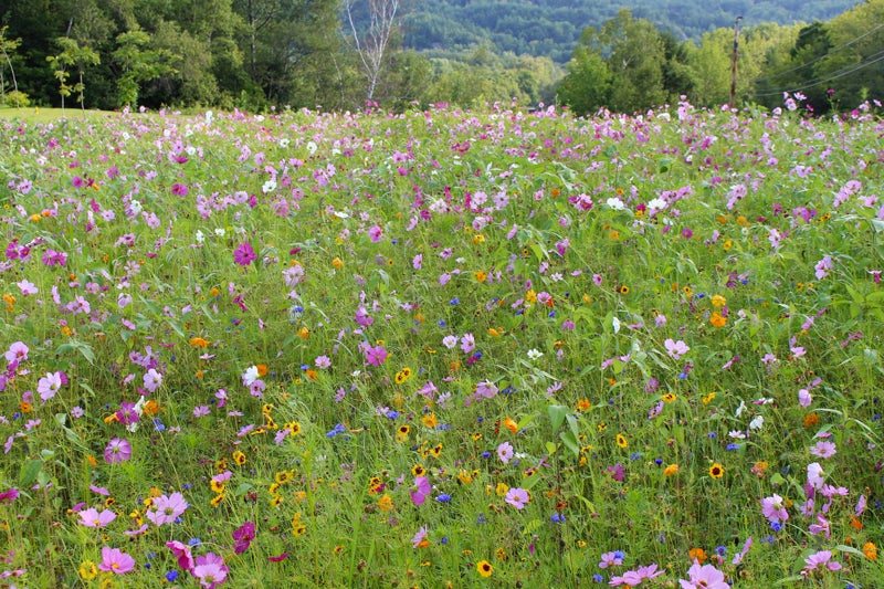 regional wildflower seeds - northeast mix