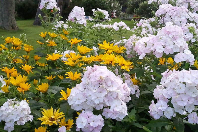 easy to grow plants: coreopsis and phlox