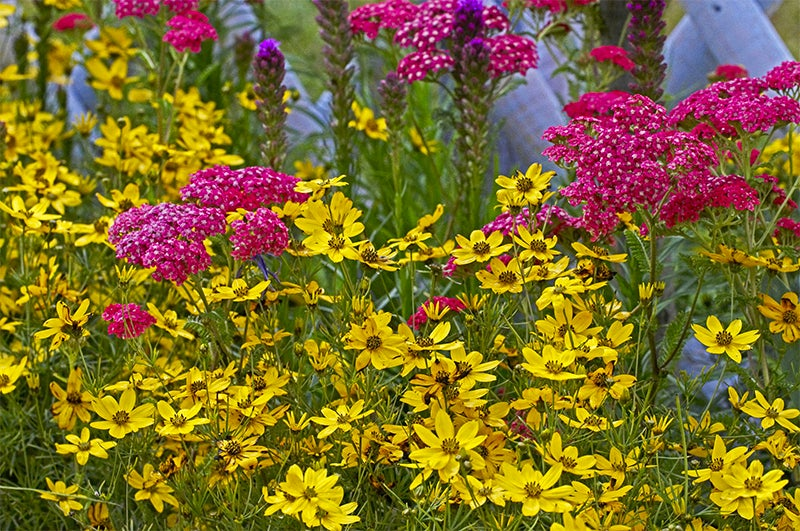 July gardening - coreopsis and yarrow