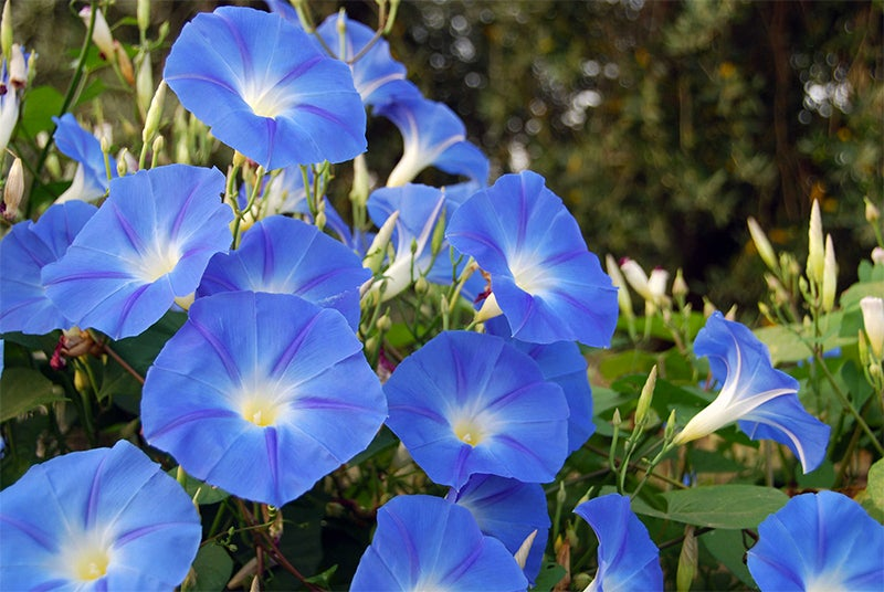 How To Scarify Seeds - morning glories