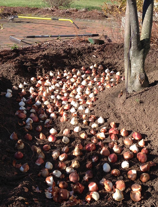 Trench Planting: Tulips