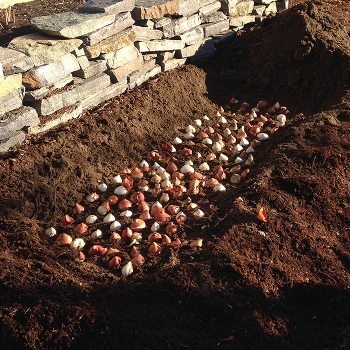 trench planting - tulips