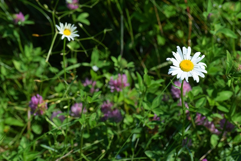 wild gardens - daisies and clover