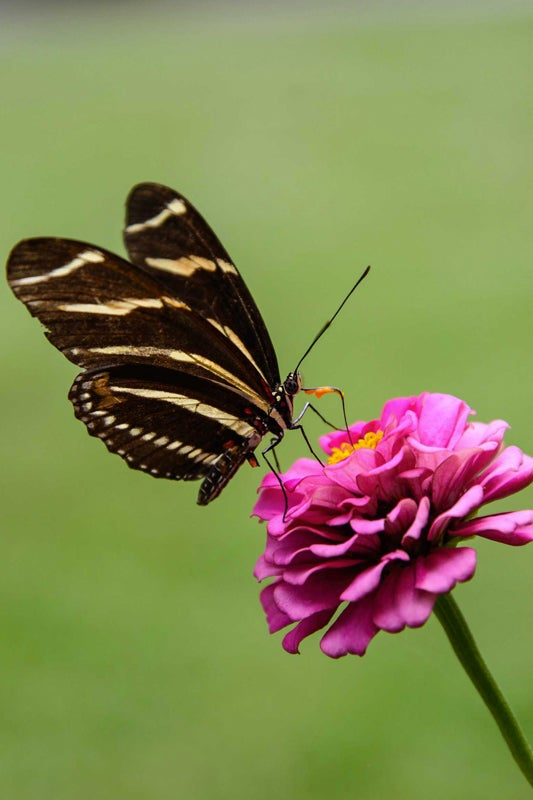 planting zinnias for butterflies