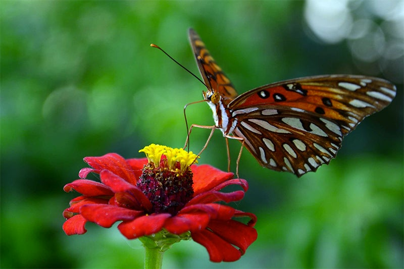 zinnias for butterflies - swallowtail