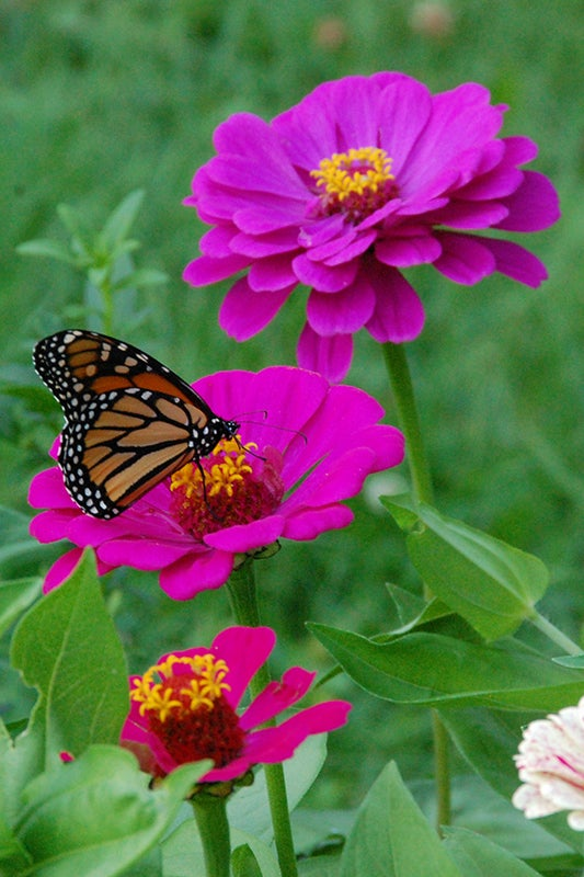 planting zinnias for butterflies - monarch