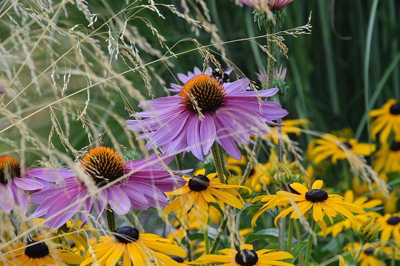 photo contest winners: Echinacea, Black Eyed Susan & Tufted Hairgrass