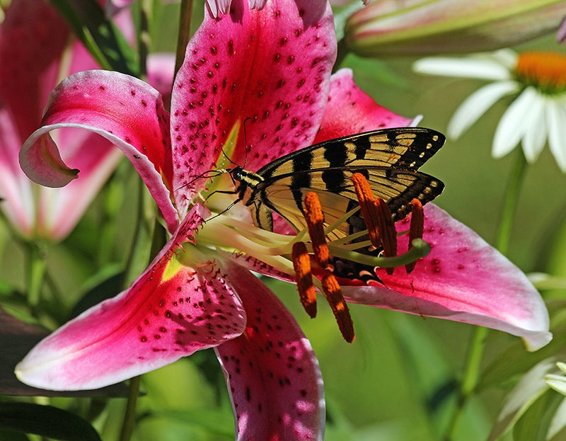 photo contest winners: oriental lily stargazer