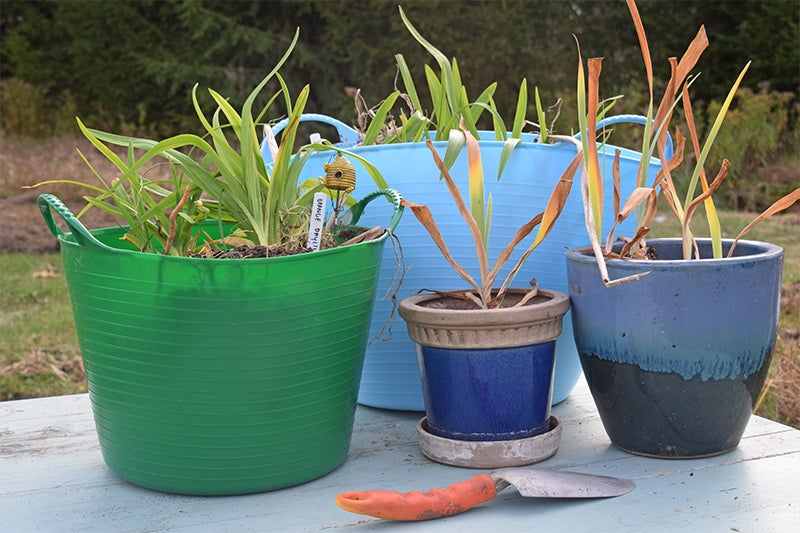 share plants - perennials in tubtrugs and pots