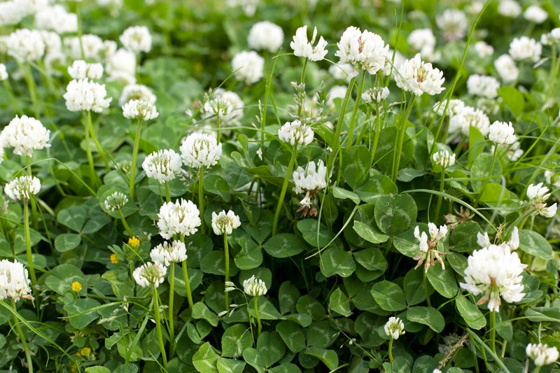 October Garden Chores - White Clover