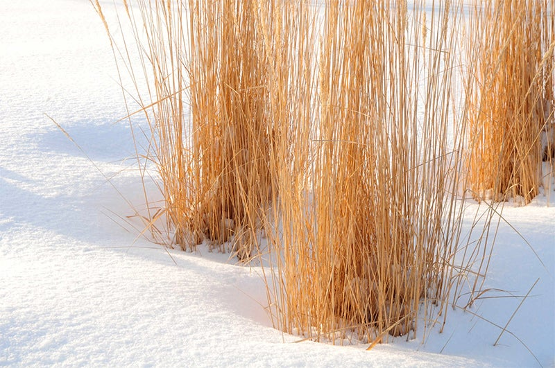 ornamental grasses in winter - planting for privacy