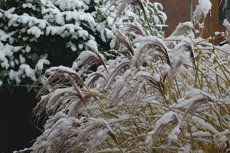 ornamental grasses in winter - miscanthus grass