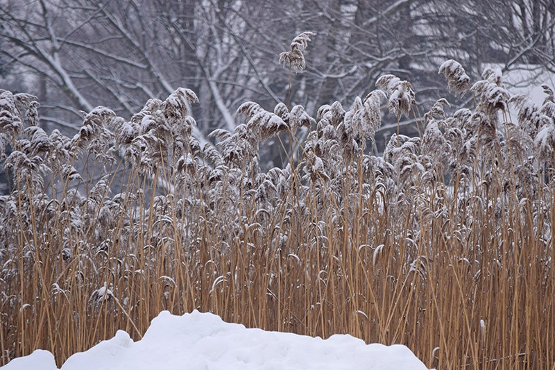 ornamental grasses in winter - swath of pampas grass