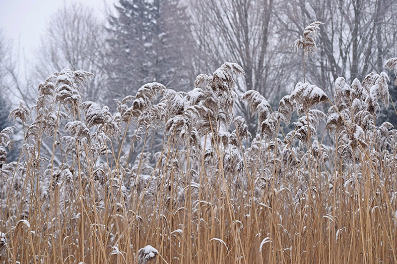 ornamental grasses in winter - pampas