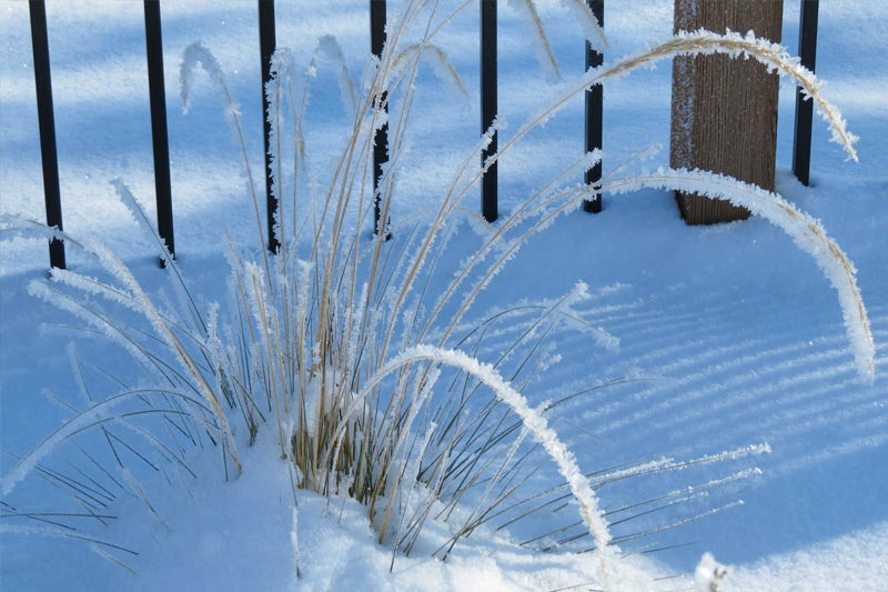 ornamental grasses in winter - small plant