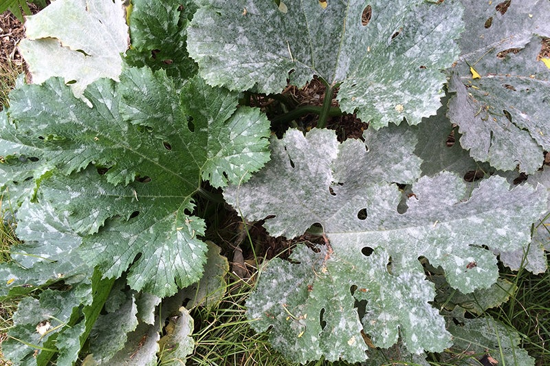Control Powdery Mildew:  Identifying