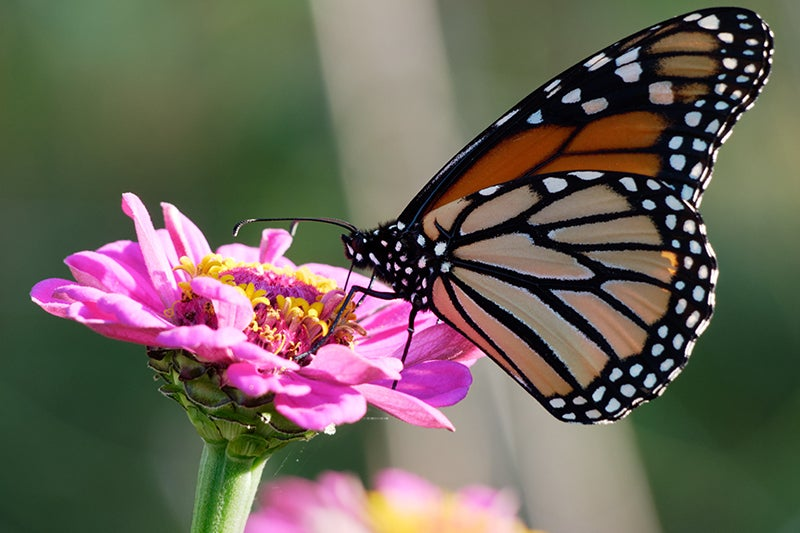 Earth Day Projects - Zinnia and Monarch Butterfly