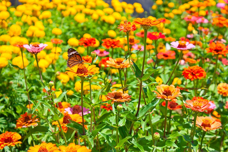 Best Wildflower Combinations - Zinnia and Butterfly
