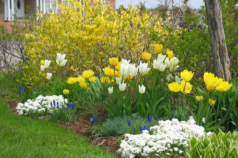 May Gardening Chores - Tulips an Forsythia