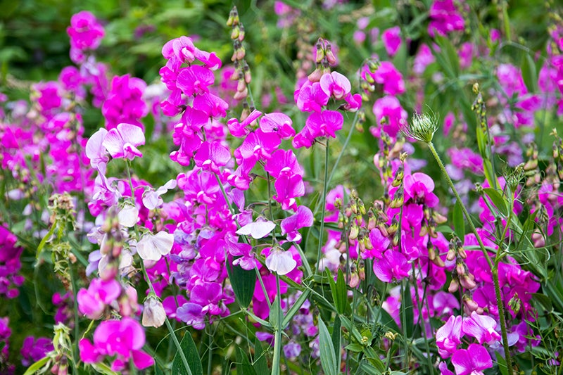 How to Start Seeds - Sweet Pea