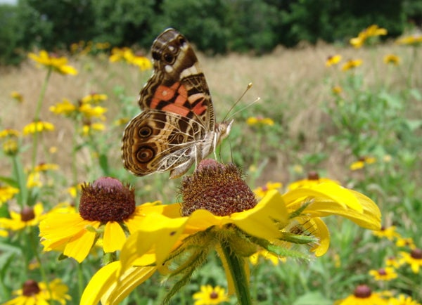 butterfly landing on black eyed susan