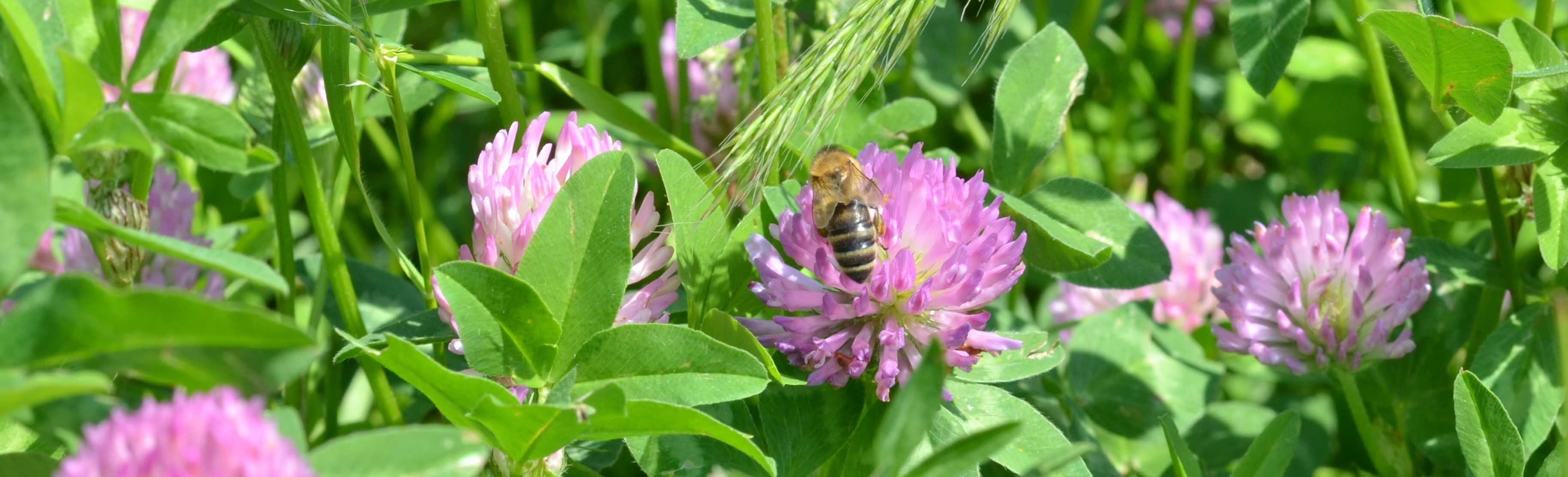 A honeybee visits a patch of red clover.